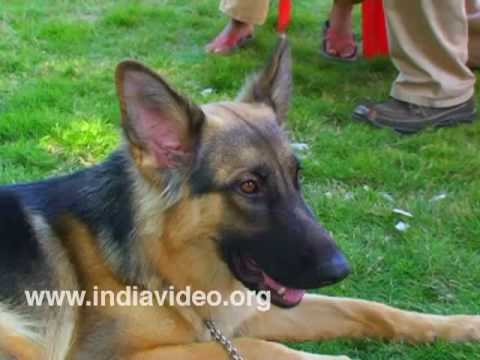 German Shepherd Dog (GSD)