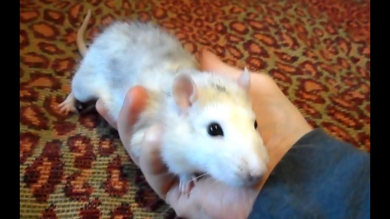 Декоративные крысы к уход и содержание в домашних условиях