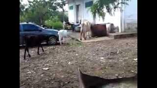 Vendas de Vacas Leiteiras em Brasilia DF