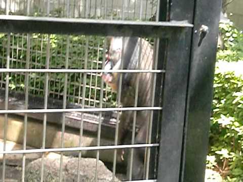 マンドリル・千葉市動物公園