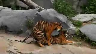 Tiger sex tape