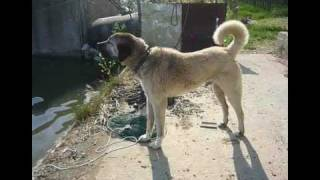 Kangal Dog Barking