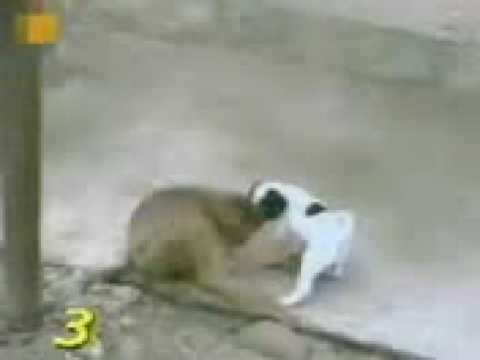Funny Punjabi Monkey Sex.flv video