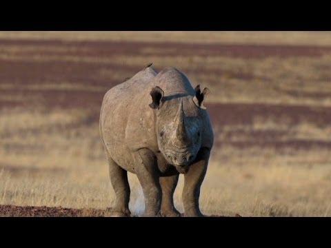 Dallas auction to kill rare Black Rhino