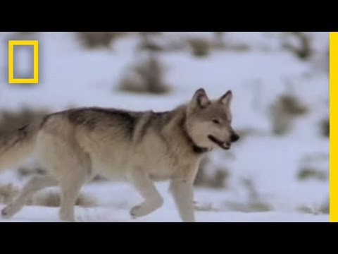 Wolf Hunting Tactics Video