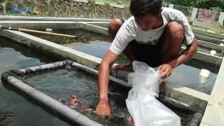 Geliat usaha ikan Koi di Jogja