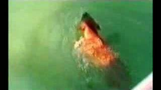 Dog Attack Shark