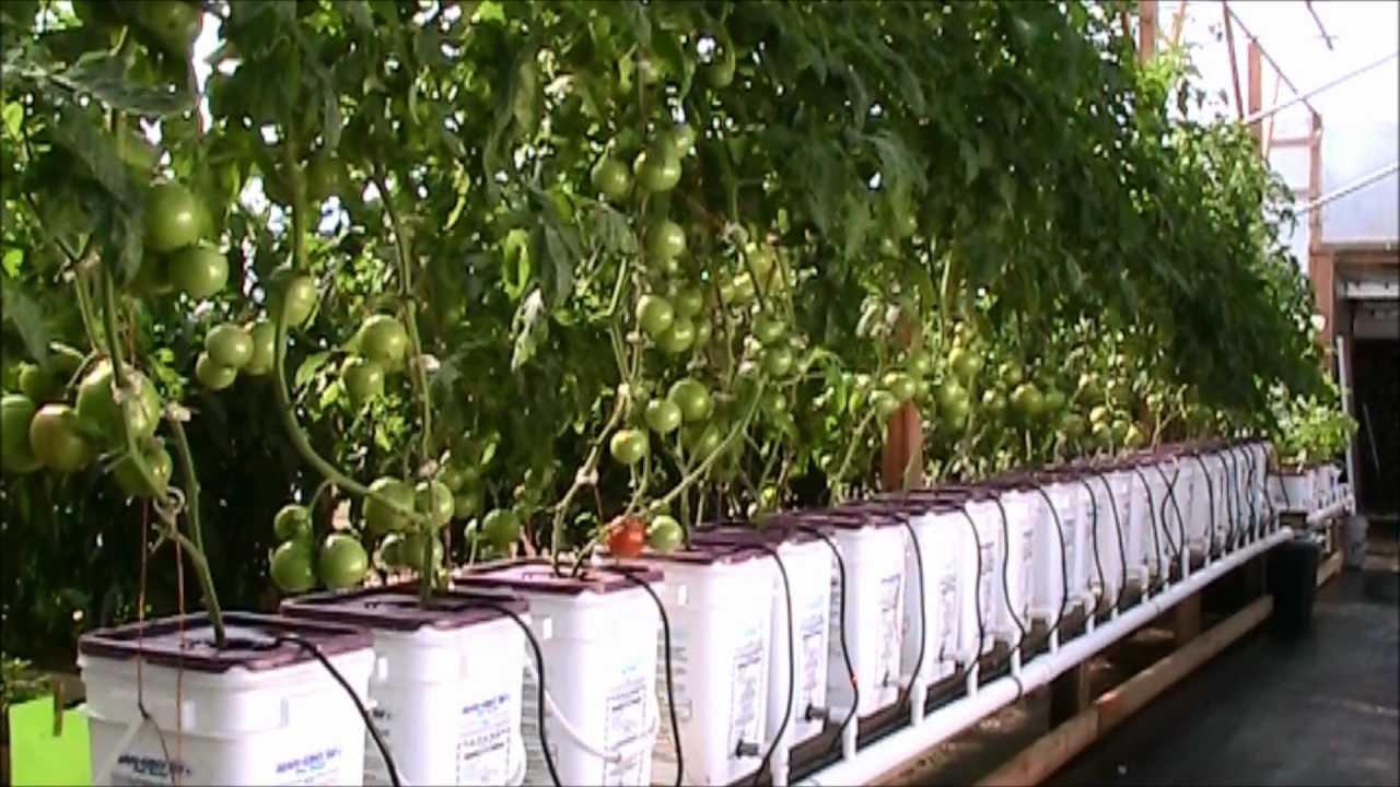 Update Dutch Bucket Hydroponic Tomatoes Oct 2012 Hd Youtube