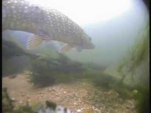 silver carp