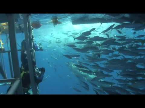 Cage Diving with Great White Sharks of Isla Guadalupe, Mexico