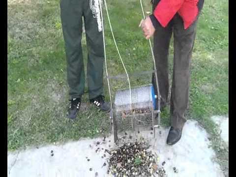 kirpi dip zeytini toplama