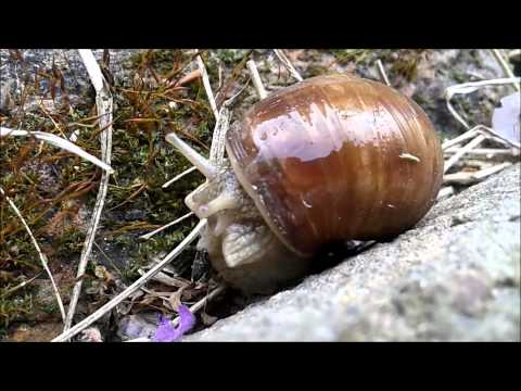Snail wiggling out of it's shell