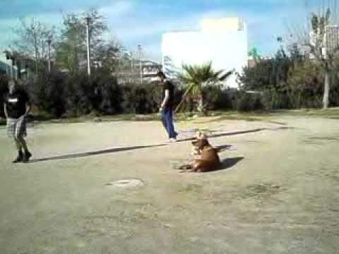 Εκπαίδευση σκύλων - Υπακοή Ridgeback - Pitbull - k9training.gr