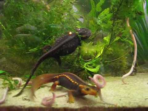 Tylototriton verrucosus light(ish)form feeding Video