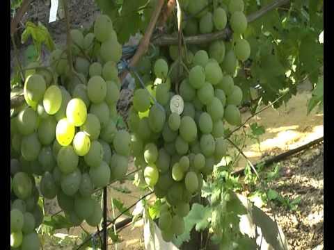 Лекция о сортах винограда