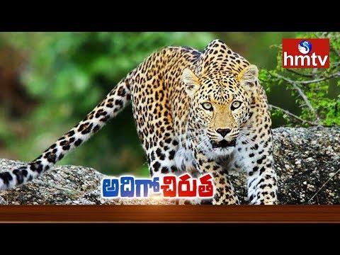 Wandering Leopard at Kothapalli Village | Ranga Reddy | hmtv