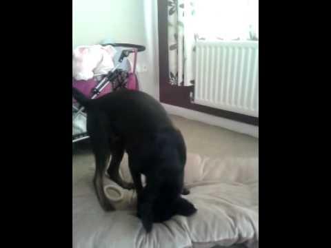 Собака сходит с ума после того как съест бекон