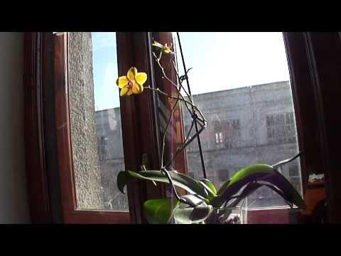 Орхидея фаленопсис отцвела. Что делать с цветоносом?