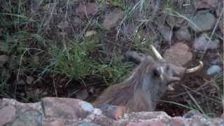 Warthog backs into drainage ditch for the night