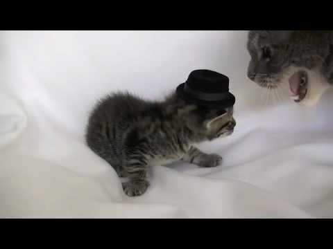 Kittens Wearing Top Hats Kitten Wearing a Tiny Hat