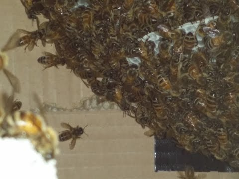 Swarm Of Bees In A Swarm Trap Box video