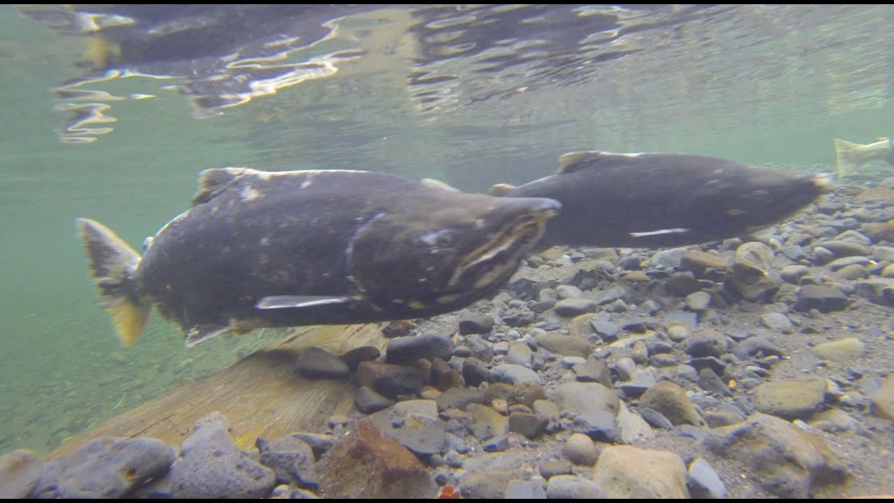 Grant 39 s getaways salmon watch youtube for Columbia river fish counts