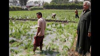 9 محافظات لزراعة محصول الأرز 2020.. تعرف عليها