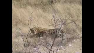 Hunting leopard in Africa