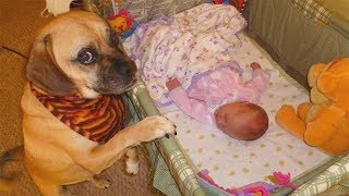 Funny Dog Become A Good Babysitting for Baby    Dog love Baby