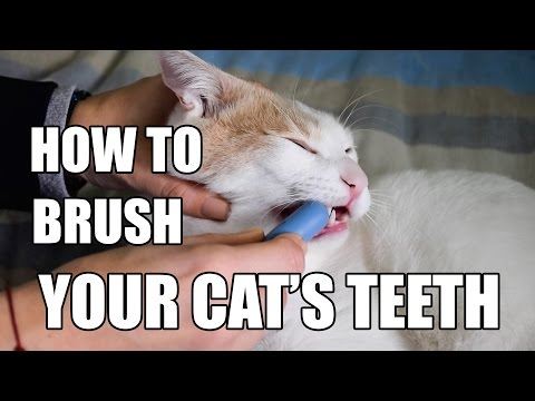 猫ちゃんの歯磨きをする方法