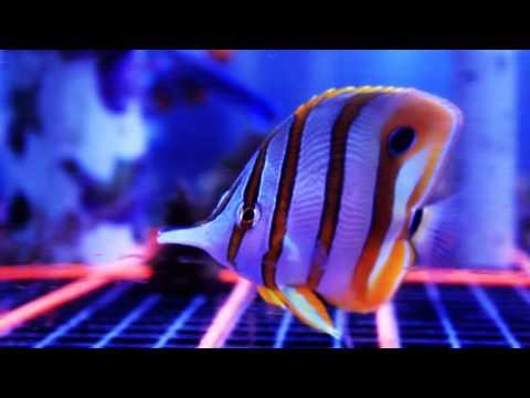 Species Spotlight Season 2 - The Copperband Butterfly - Episode 9