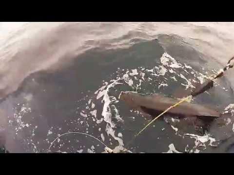 Big mako shark fishing in California