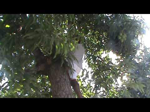 Climbing a Mango tree