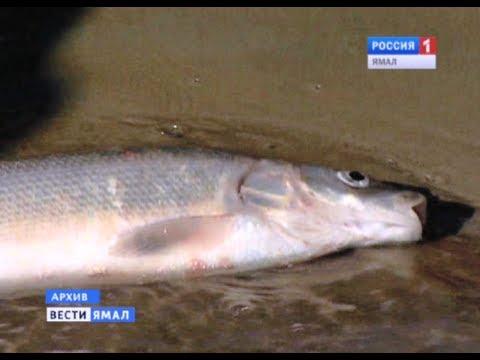 рыбалка сетями в обской губе видео