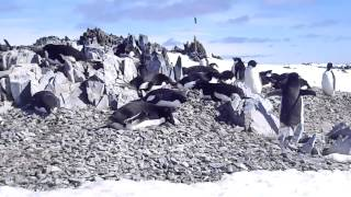 Penguins nesting