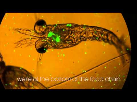 Plankton munching microplastics.