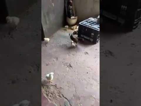 Цыплёнок против Курицы