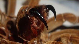 Tarantula Feeding Video 40 (Look at those fangs!)