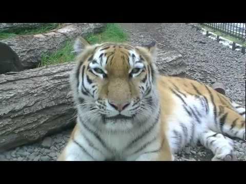 アムールトラのココア(釧路市動物園)~Amur tiger at Kushiroshi zoo