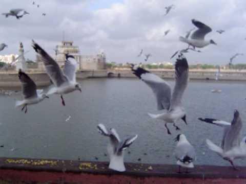 Migratory Birds (seagulls) Enjoying Ganthiya In Jamnagar