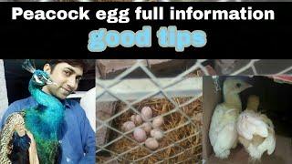 Peacock egg full information hindi / Urdu