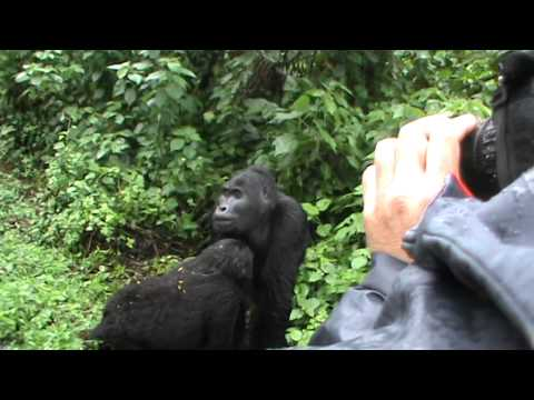 Catriona Kennedy and a Black Back Gorilla behind her Bwindi NP Uganda May 2014