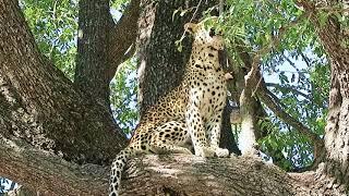 leopards of Botswana movie