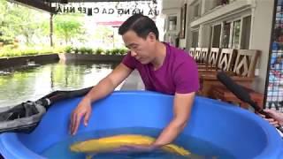 Chiêm ngưỡng chú CÁ KOI 500 TRIỆU và hồ cá Koi trị giá 14 TỶ