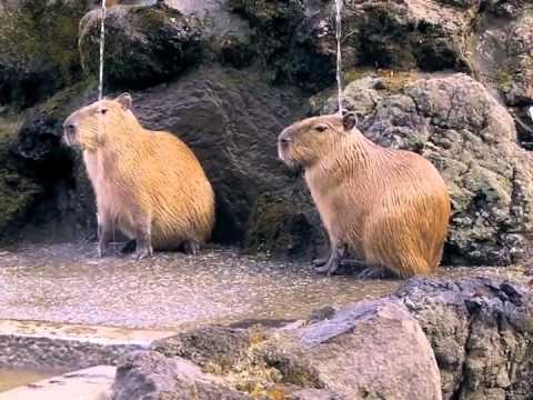 打たせ湯にあたる仔カピたち(埼玉県こども動物自然公園)