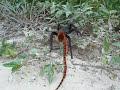 tarantula vs coralsnake