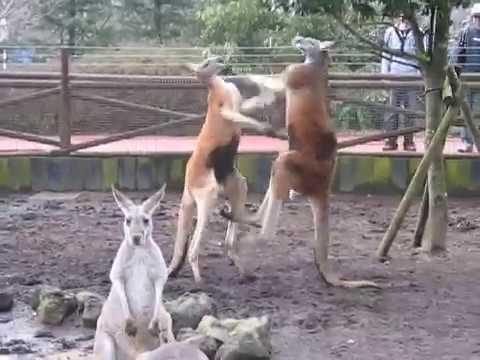 battle of kangaroo