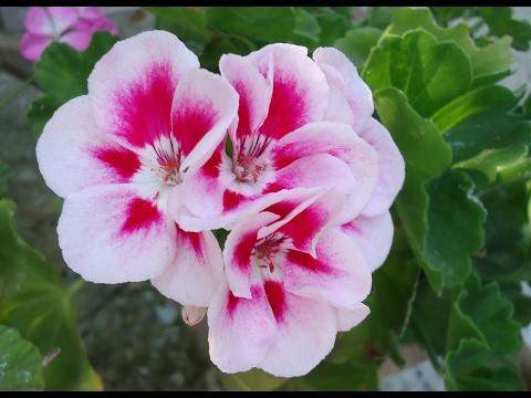 Пеларгония (герань). Размножение. Бабушкин цветок снова в моде!