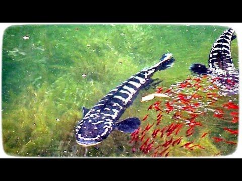 Giant snakehead fish aquarium