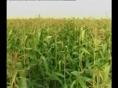 MAIZE Production Technology Pakistan Part -1: Dr.M.Ashraf Sahibzada